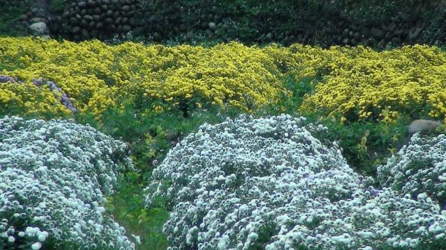 杭白菊,是銅鑼鄉目前最具特色的農產品,產量高居全台第一
